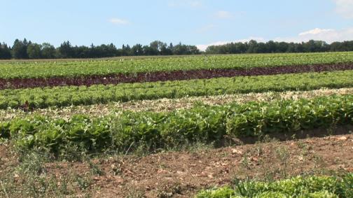 Les légumes de plein champ exigent beaucoup de soin et de patience