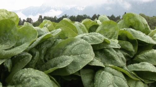 Schweizer Spinat – vom Feld bis ins Tiefkühlfach